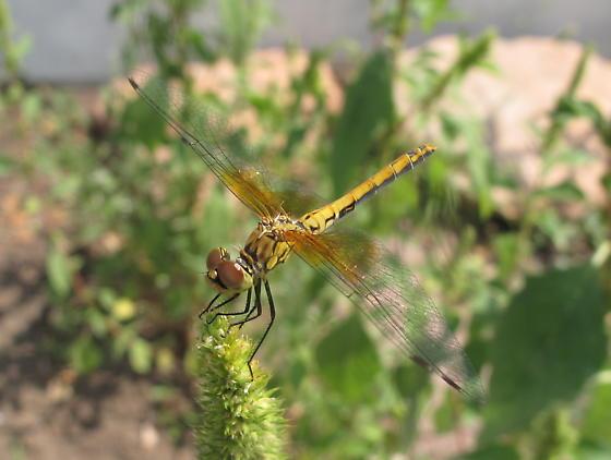 Sympetrum semicinctum - Band-winged Meadowhawk - Sympetrum semicinctum