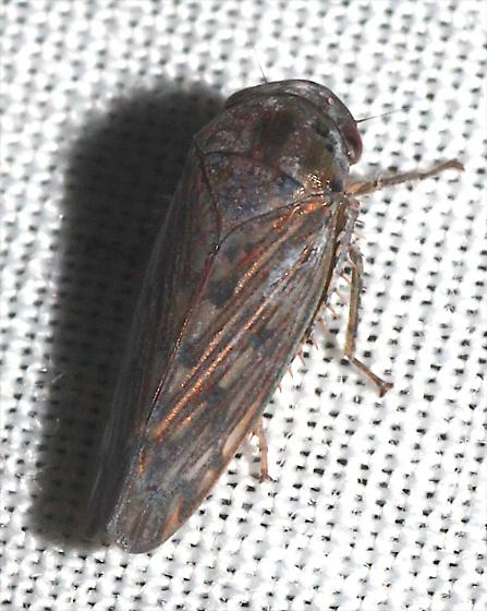Another Leafhopper - Marganana