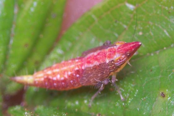 Odd Hopper Nymph - Scaphytopius