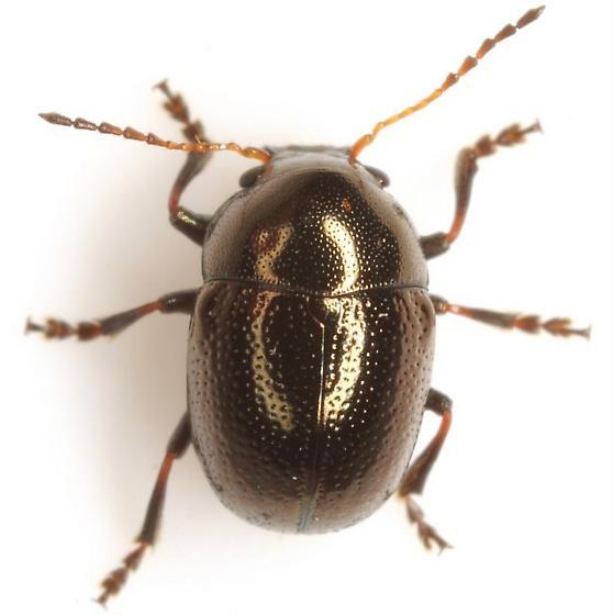 Metaparia sp. EGR 1 - Metaparia - male
