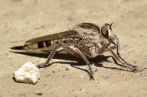 Giant Robber Fly? - Triorla interrupta - female