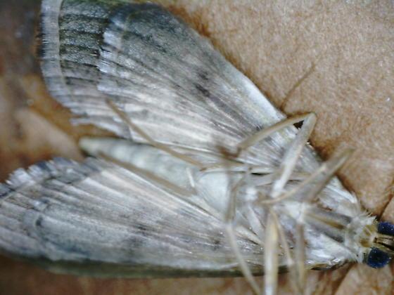 Pond drive leaf tier on Saururus cernuus D2704 adult 2020 1 - Patania silicalis