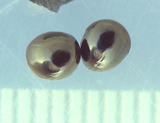 Round Fungus Beetles - Agathidium