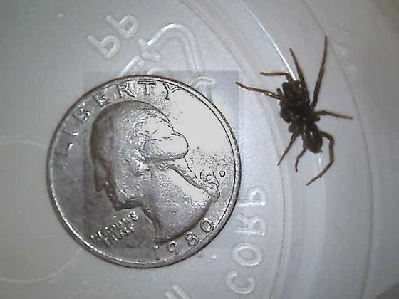 Male of PA purseweb spider - Atypus snetsingeri - male