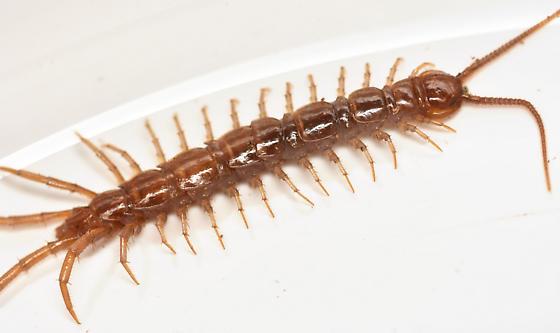 brown centipede - Lithobius forficatus
