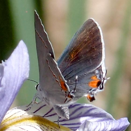 gray hairstreak female - Strymon melinus - female
