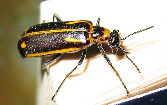 unknown blister beetle - Pyrota insulata