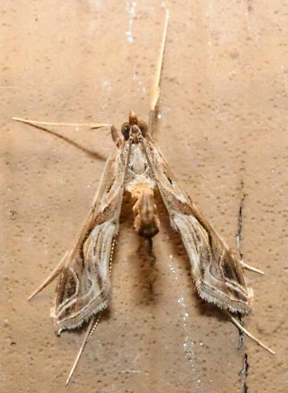 Small moth - Lineodes integra
