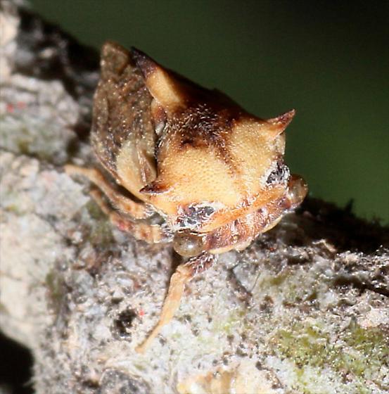 Platycentrus - Tylocentrus reticulatus