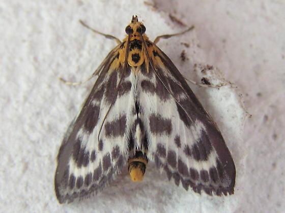 Small moth to ID - Anania hortulata