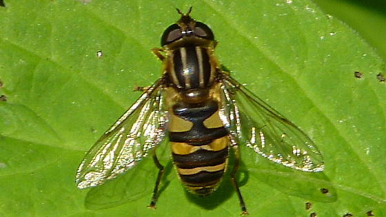 Bee Mimic Fly - Helophilus