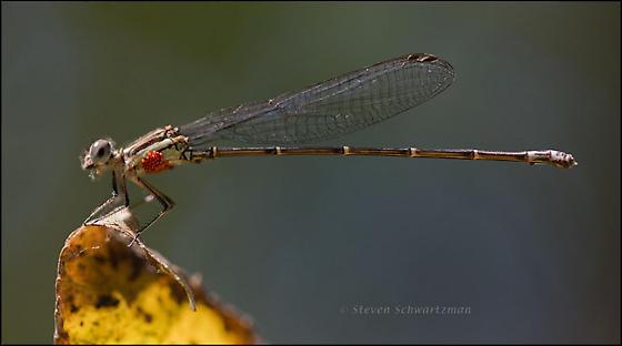 Damselfly with mites - Argia translata - male