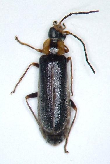 Cantharid - Rhagonycha oriflava - female