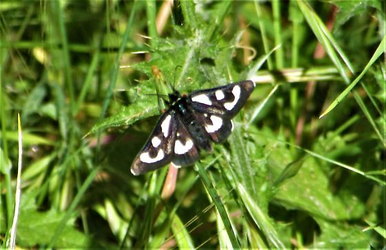 Black moth with white markings - Alypia mariposa