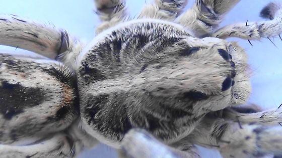 Night Stalker (dorsal carapace) - Hogna carolinensis - male