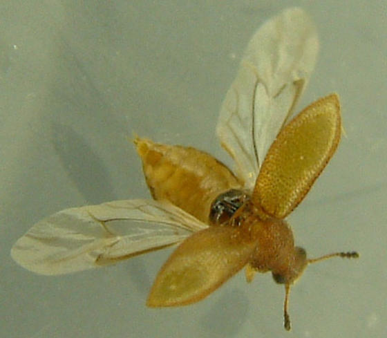 small ball-antenna beetle - Paratenetus punctatus