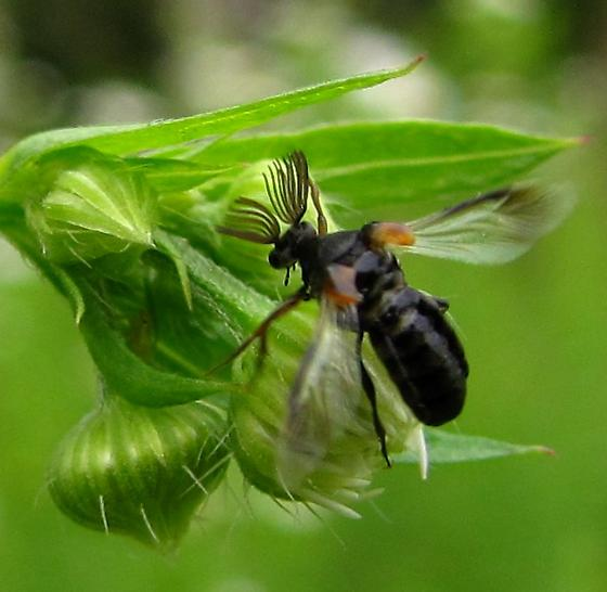 antler beetle - Ripiphorus - male