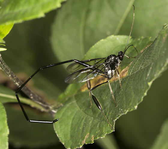 Wasp  - Pelecinus polyturator