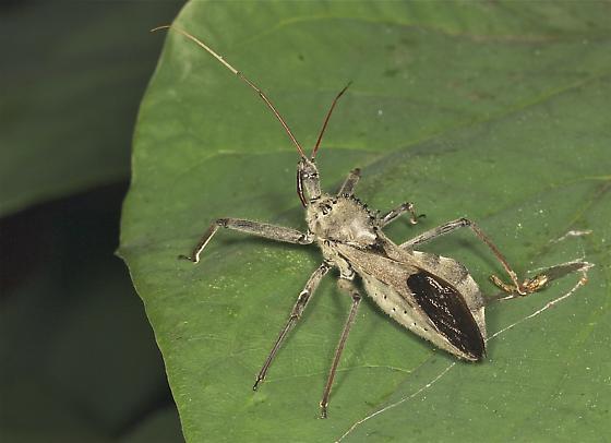 Wheel Bug for New York State - Arilus cristatus
