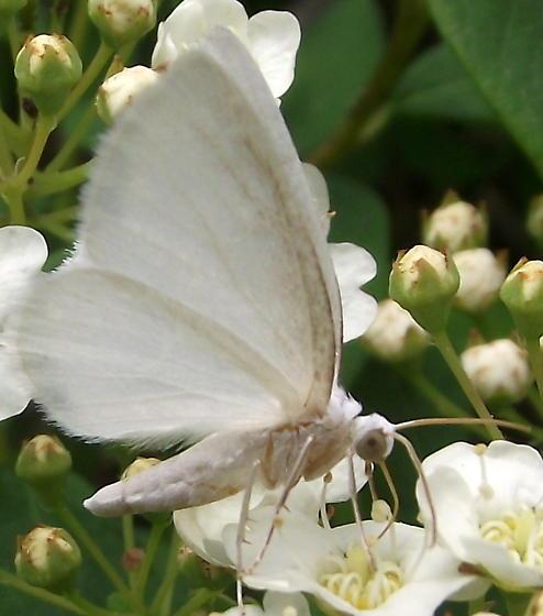 White day flying moth lomographa vestaliata bugguide white day flying moth lomographa vestaliata mightylinksfo