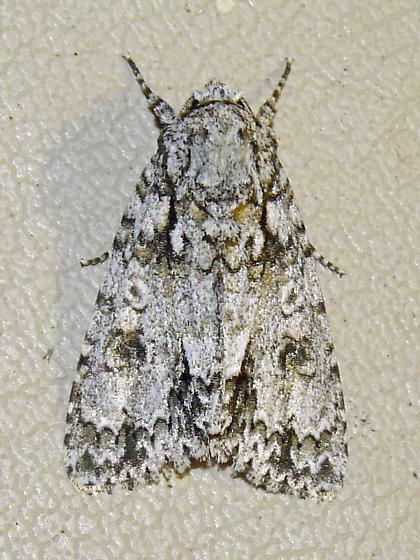 9256 - Acronicta marmorata - Acronicta marmorata