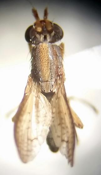 Possible sciomyzidae?