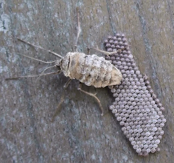 Geometridae: Alsophila pometaria or Erannis tilaria? - Alsophila pometaria - female