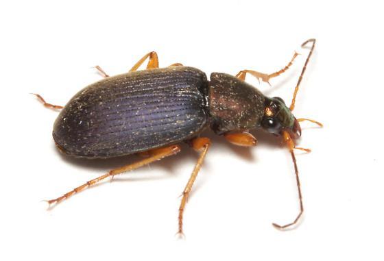Carabidae, lateral - Chlaenius tricolor