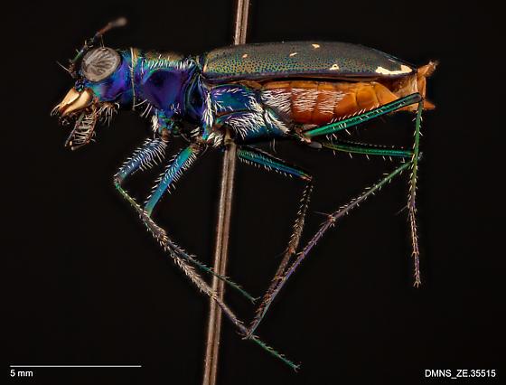 ZE.35515_Cicindela_rufiventris_rufiventris - Cicindelidia rufiventris - female