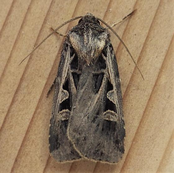 Noctuidae: Feltia subgothica - Feltia subgothica