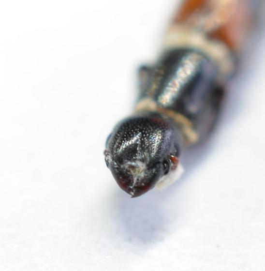 Nemozoma punctulatum  - Nemozoma punctulatum