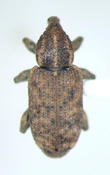 Listronotus - Listronotus frontalis