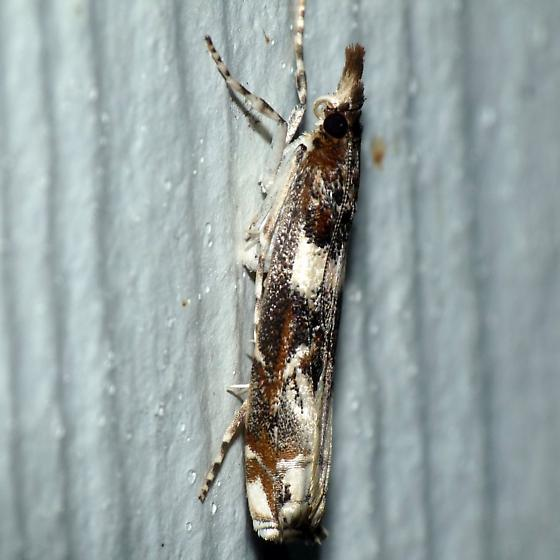 Crambid - Prionapteryx nebulifera