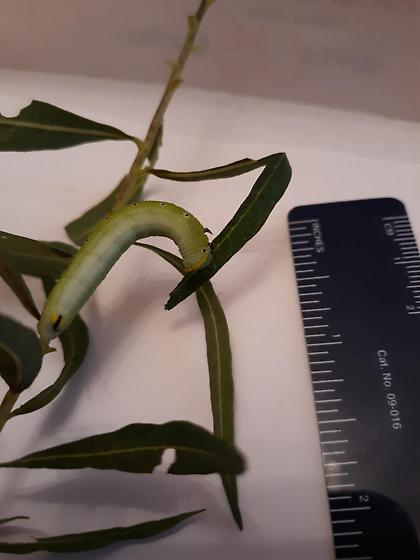 Green caterpillar on amsonia - Hemaris diffinis