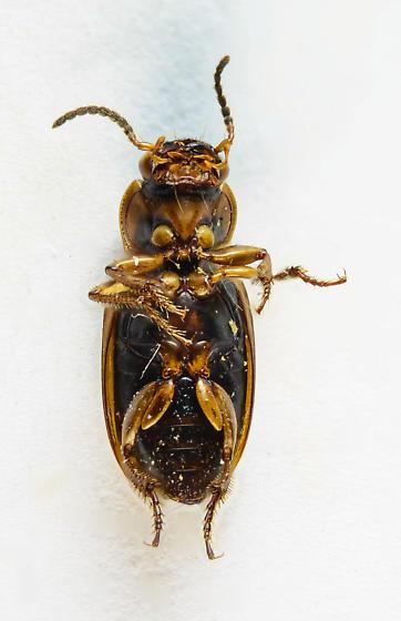 One of the Seedcorns... - Stenolophus