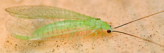 green lacewing - Ceraeochrysa lineaticornis