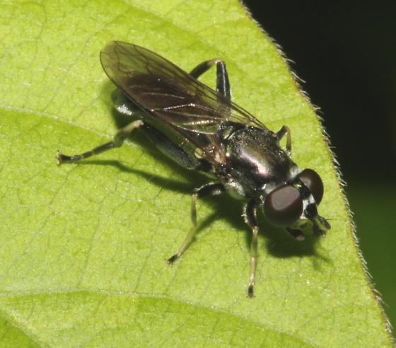 Syrphidae - Xylota