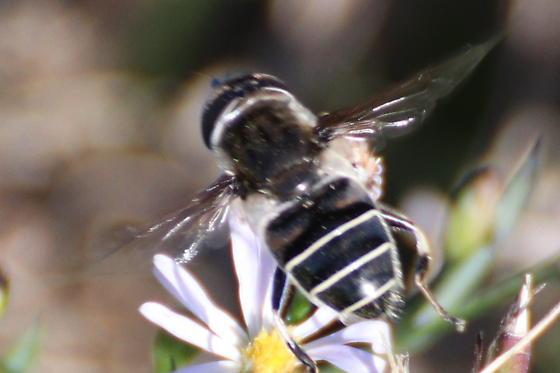 Syrphid Fly - Eristalis dimidiata? - Eristalis dimidiata