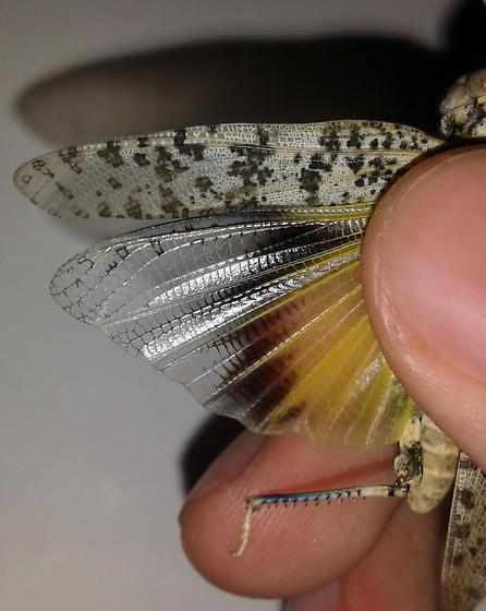Requesting Acrididae ID - Circotettix splendidus