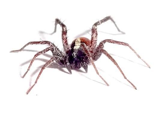Arizona spider - Castianeira