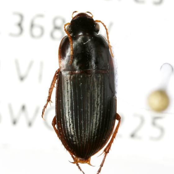 Selenophorus ellipticus Dejean - Selenophorus ellipticus