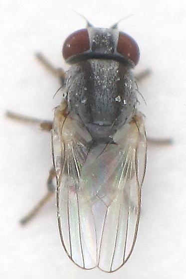 Two Stripes - Leucopis - female
