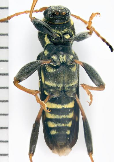 Cerambycidae, ventral - Clytus ruricola
