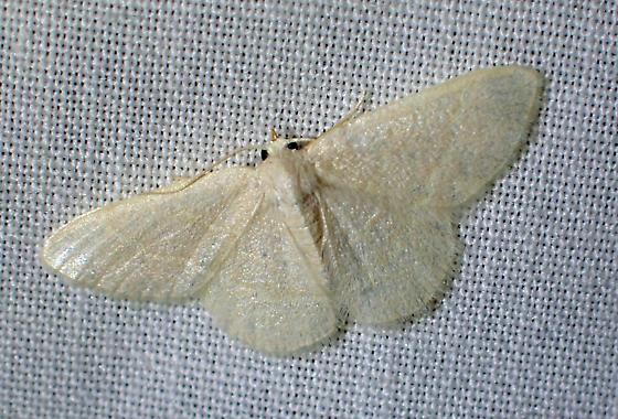 moth - Chlorochlamys - female