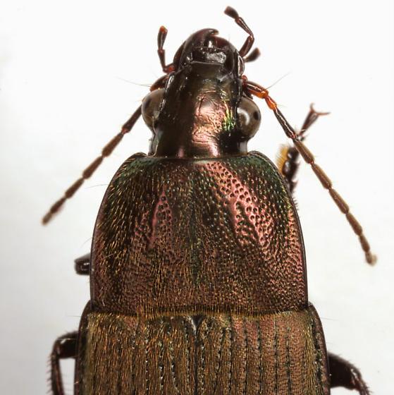 Chlaenius tomentosus (Say) - Chlaenius tomentosus