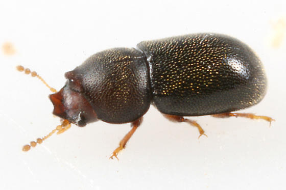 Minute Tree Fungus Beetle - Strigocis opacicollis - male