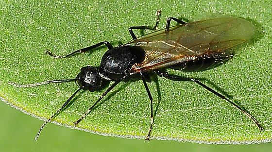 Carpenter Ants Subgenus Camponotus - Camponotus