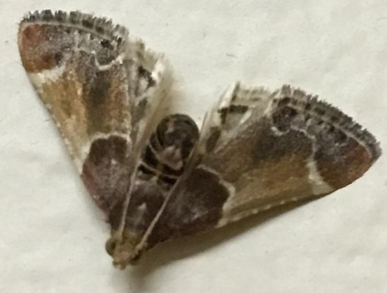 Moth - Pyralis farinalis