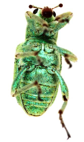 Coniatus splendidulus? - Coniatus splendidulus