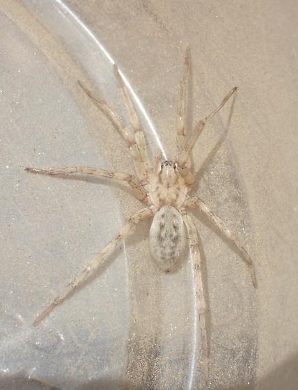 Spider - Syspira